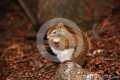 Munching squirrel