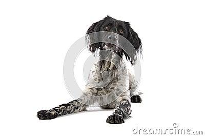 Munsterlander dog