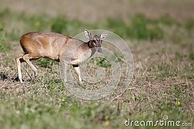 Muntjac, Muntiacus reevesi,