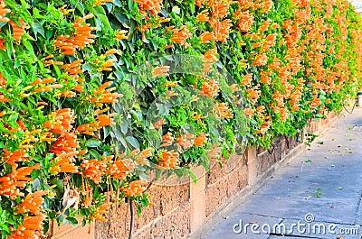 mur de fleur de trompette orange photographie stock libre de droits image 28822227. Black Bedroom Furniture Sets. Home Design Ideas