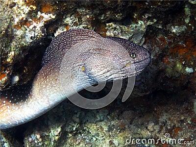 Murena - een nachtroofdier