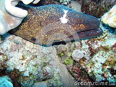 Murena fish