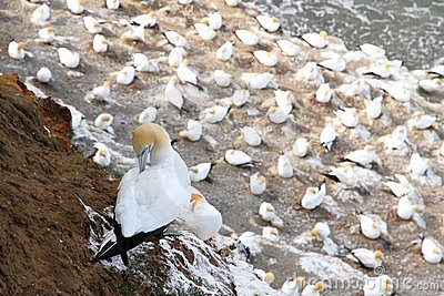 Muriwai Beach Gannet Colony 1