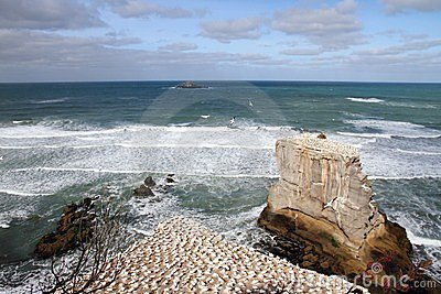 Muriwai Beach Gannet Colony 2