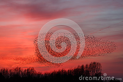 The Murmurations of Starlings