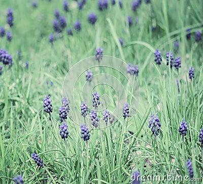 Muscari field