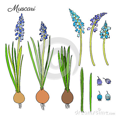 Free Muscari Flowers Hand Drawn Doodle Colorful Sketch  On Wh Royalty Free Stock Photography - 72928817