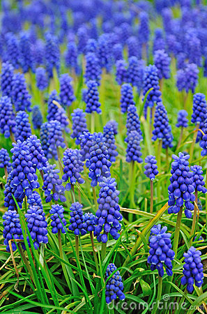 Free Muscari Flowers Meadow Royalty Free Stock Images - 14251389