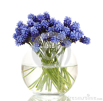 Muscari - hyacinth in vase
