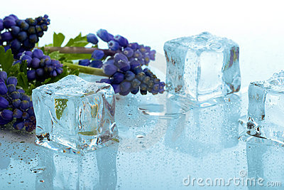 Muscari and ice cubes