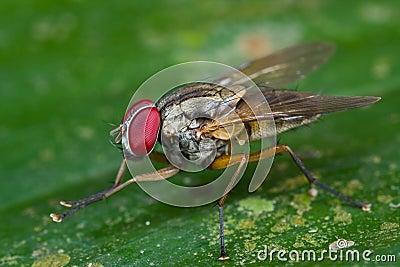 a Muscidae cf myospila fly on a green leaf