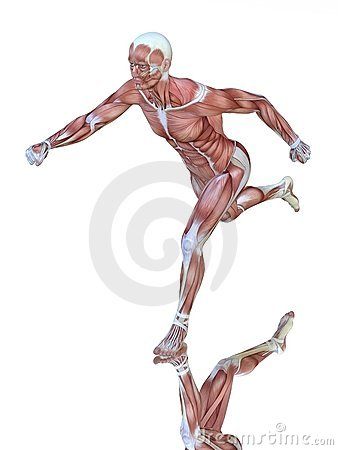 Muscle anatomy of running man