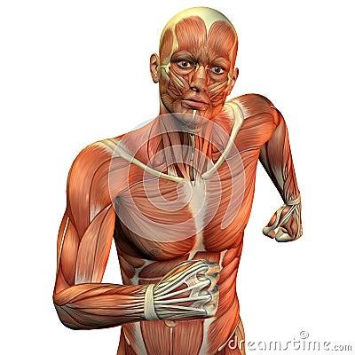 Muscle man upper body