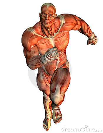 Muscle ongoing study of male body builders