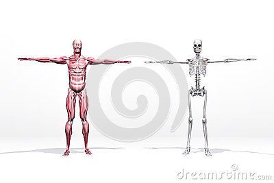 Muscles and skeleton