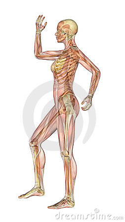 Muscles and Skeleton - Female with Limbs Bent