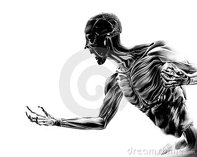 Muscles sur le fuselage humain 17