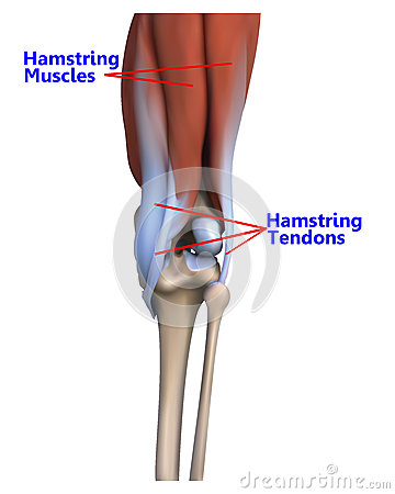 The muscles and tendons at the back of the knee