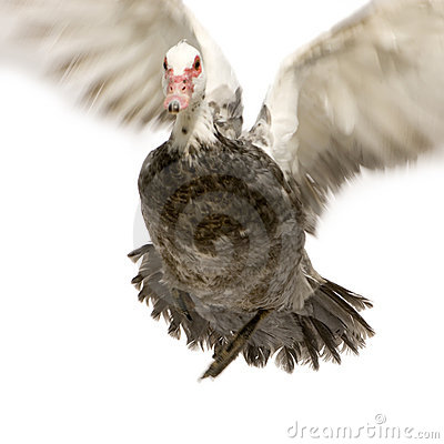 Free Muscovy Duck Royalty Free Stock Photography - 2330477