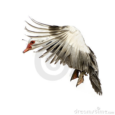 Free Muscovy Duck Stock Photography - 2330492