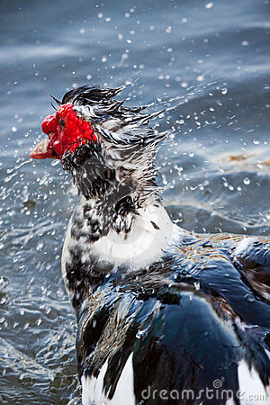 Free Muscovy Duck In Water Royalty Free Stock Photos - 8728558