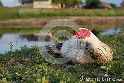 Muscovy duck, male