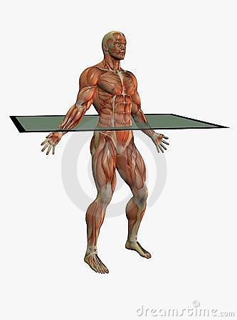 Muscular anatomical male