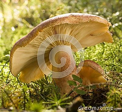 Free Mushroom Royalty Free Stock Photos - 3415498