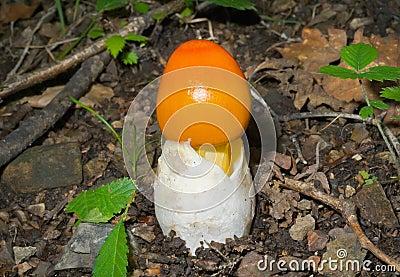 Mushroom (Amanita caesareaoides) 3
