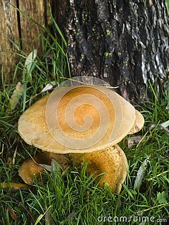 Mushroom Armillaria Mellea or Honey-mushroom
