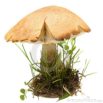 Mushroom Birch Bolete isolated