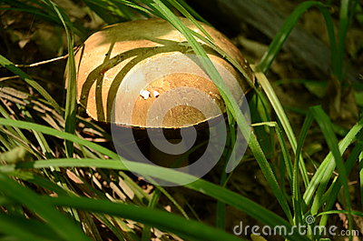 A mushroom is in a grass
