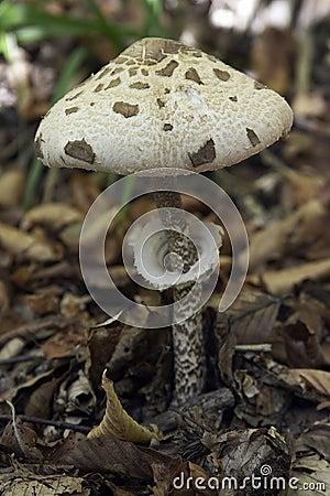 Mushroom IV