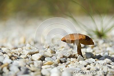 Mushroom on pebble