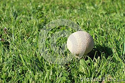 Mushroom - puff-ball