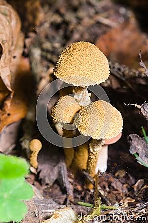 Free Mushroom Shaggy Scalycap, Pholiota Squarrosa, Macro, Selective Focus Stock Images - 86753004