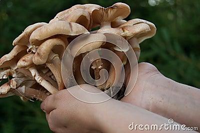 Mushroom in wood holded in hands