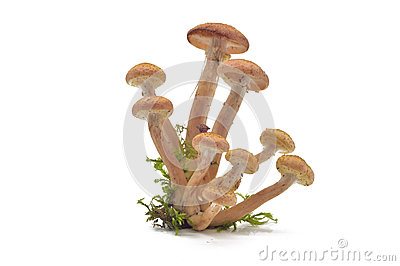 Mushrooms(Armillaria mellea)
