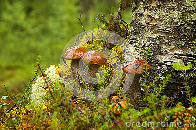 Mushrooms aspen. Orange-cap boletus.