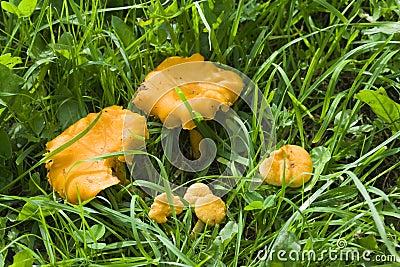 Mushrooms chanterelle