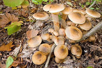 Mushrooms honey agarics autumn, true.