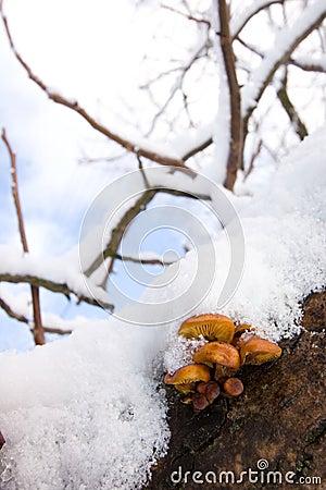 Mushrooms under the snow