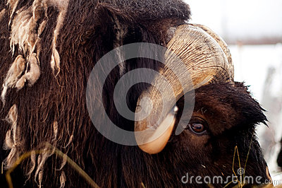 Antlers of Musk Ox Animal in Alaska Wild