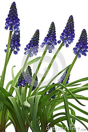Watercolor Botanical Background With Purple Muskari And Peony ...