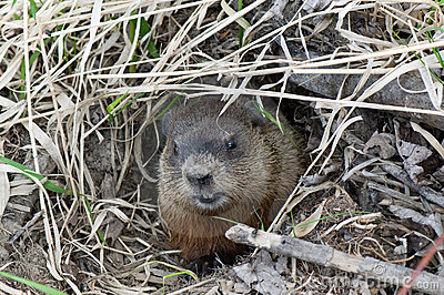 Muskrat peering out from his hole