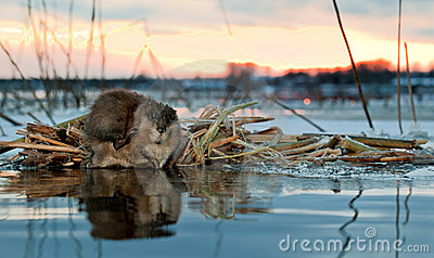 Muskrat on a sunset.