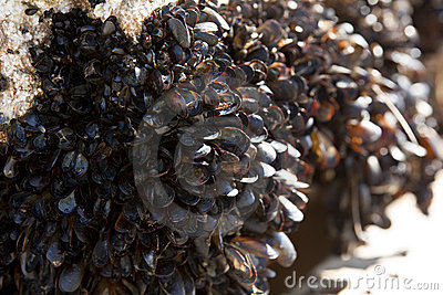 Mussels encrusted on a dock