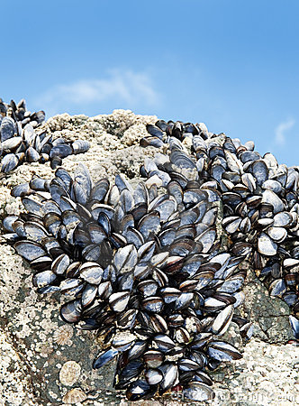 Mussels on a rock