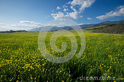Mustard Field into Distance