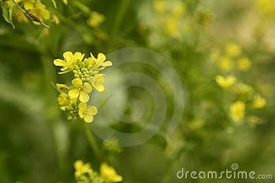 Mustard flower Sinapis Aiba yellow flowers and pla